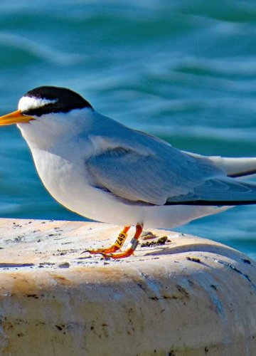 Tern Bird Pipe Shelters
